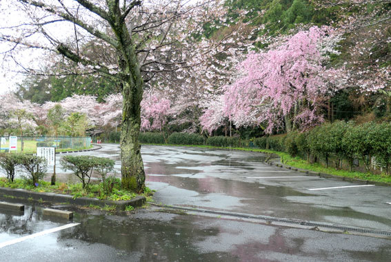 雨に咲く桜_b0145257_09031329.jpg