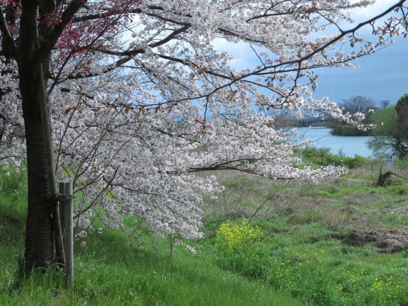 桂川で、桜散歩_f0129557_16024832.jpeg