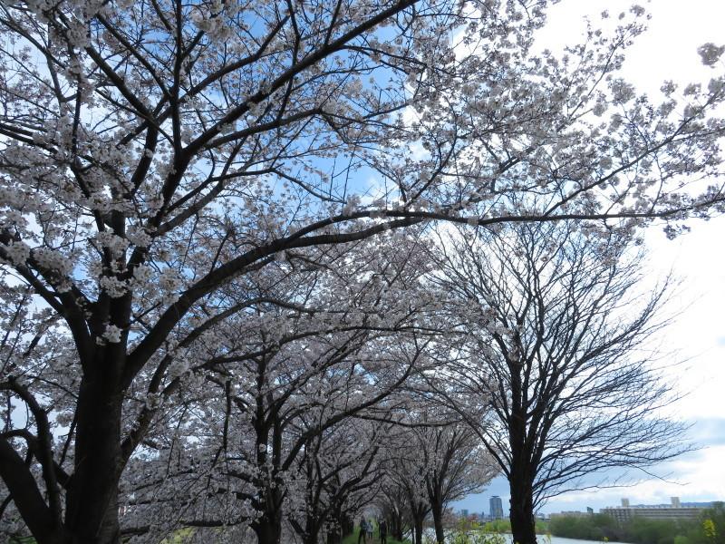桂川で、桜散歩_f0129557_16031114.jpeg