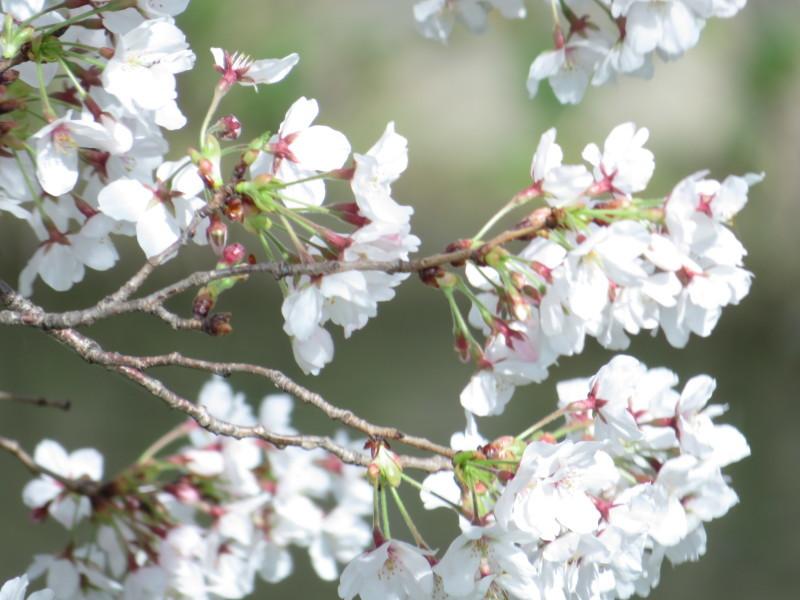 桂川で、桜散歩_f0129557_16031752.jpeg