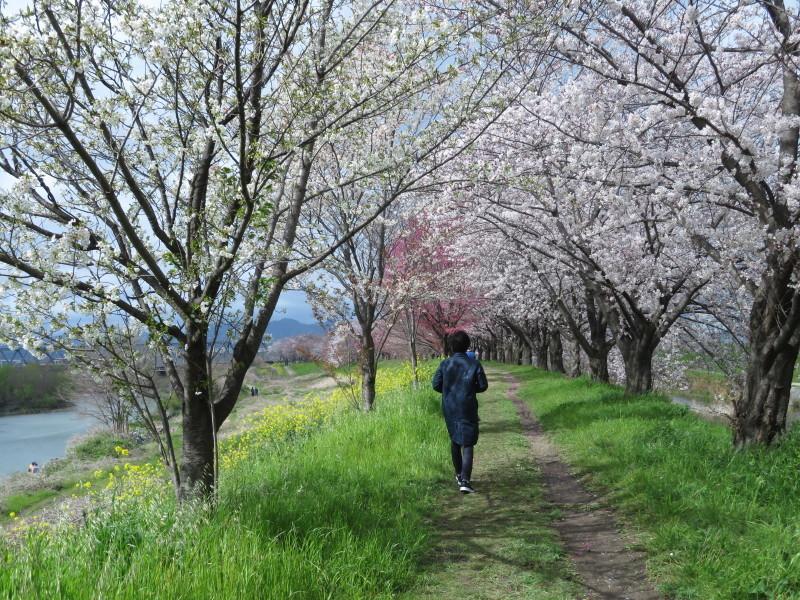 桂川で、桜散歩_f0129557_16034516.jpeg