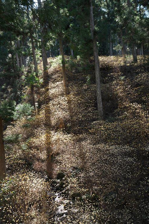 美杉町石名原のミツマタ群生地_e0170058_15130142.jpg