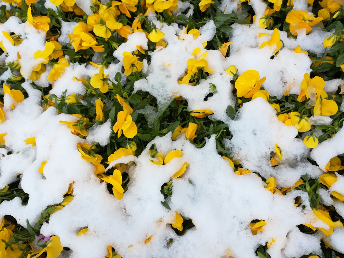 積雪と桜_c0299360_21515744.jpg