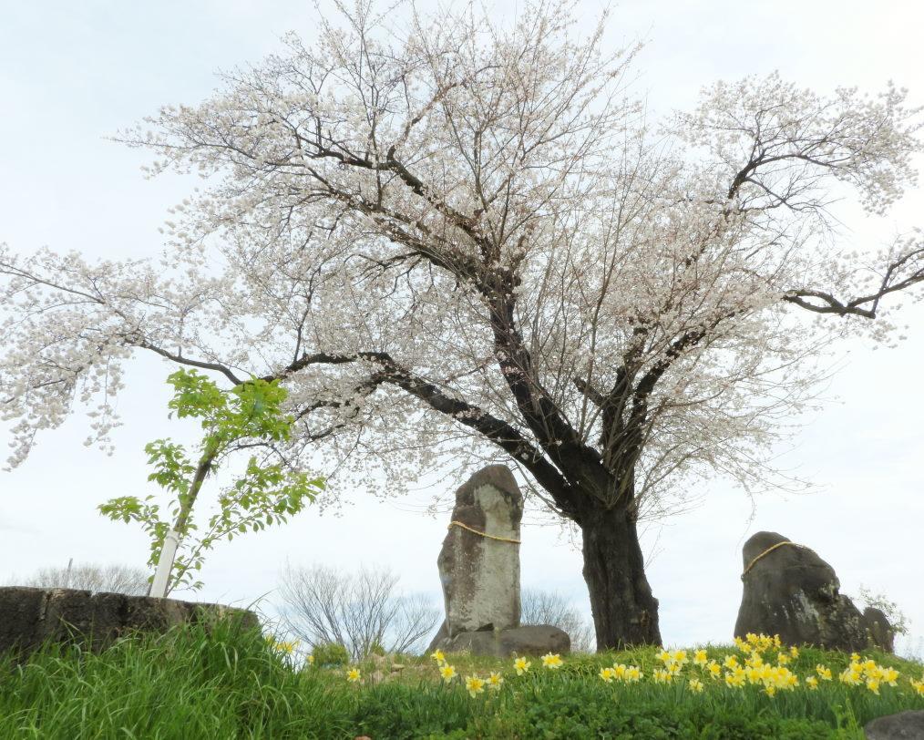 三ツ寺公園で サクラをメインに_c0305565_17352828.jpg