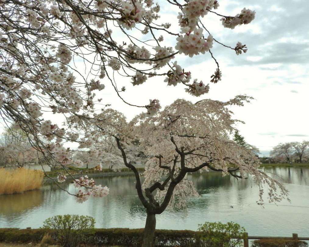三ツ寺公園で サクラをメインに_c0305565_17371965.jpg