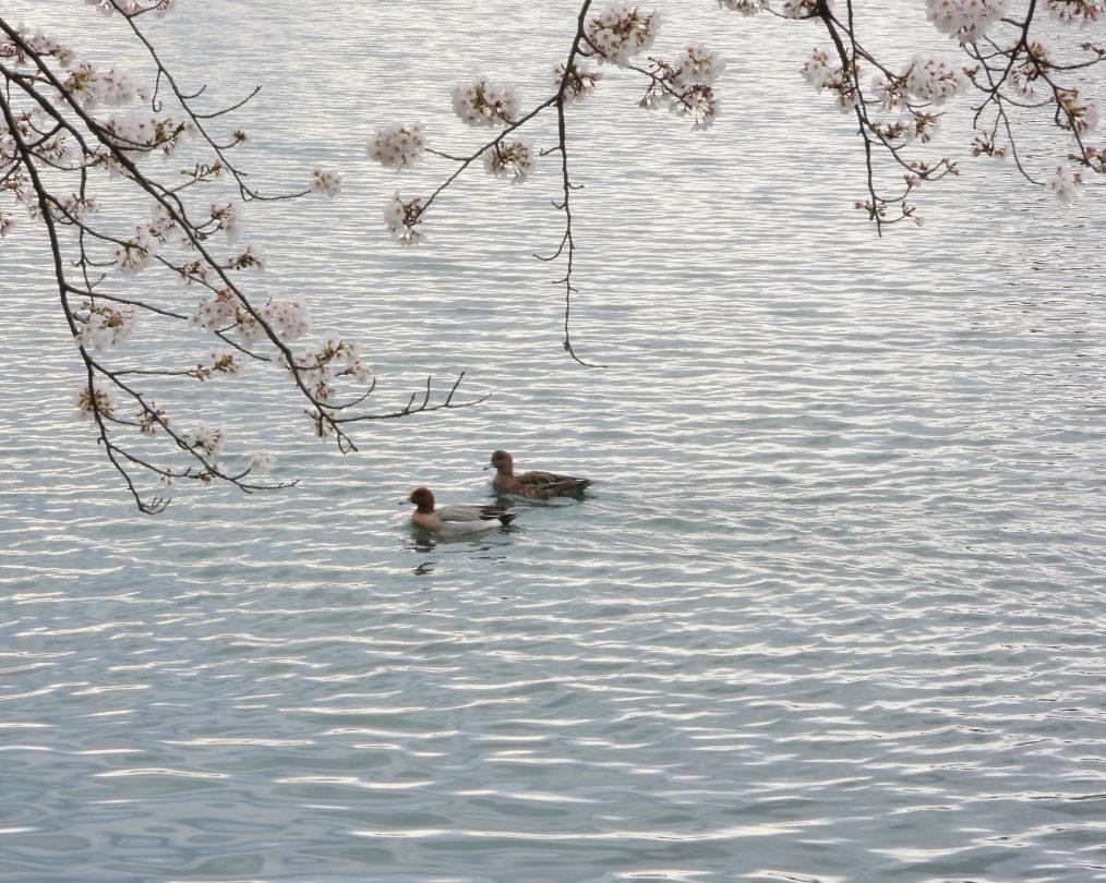 三ツ寺公園で サクラをメインに_c0305565_17384466.jpg
