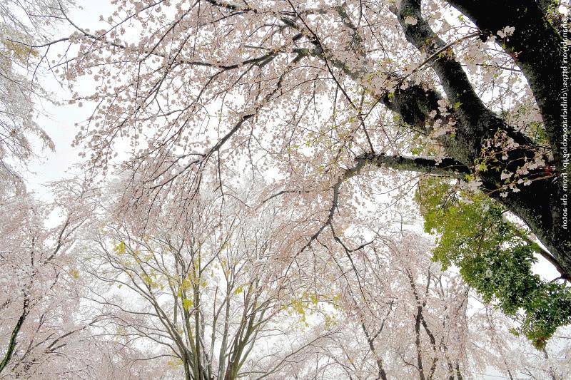 薄桜_c0319774_22585954.jpg