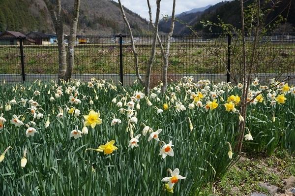 スイセンが咲き始めました_e0365880_21361452.jpg