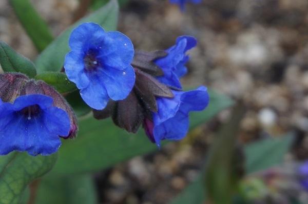 スイセンが咲き始めました_e0365880_21375083.jpg