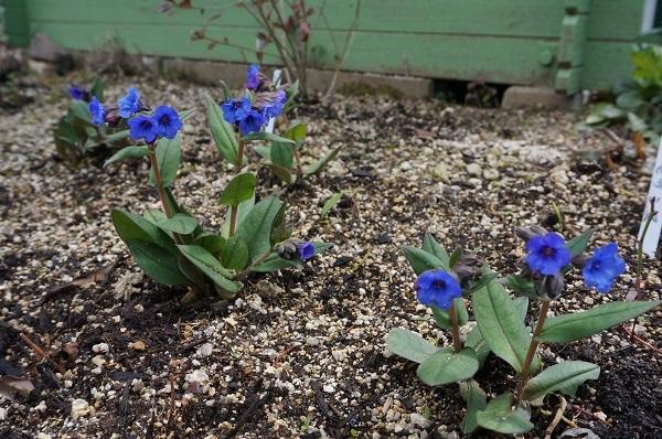 スイセンが咲き始めました_e0365880_21380725.jpg