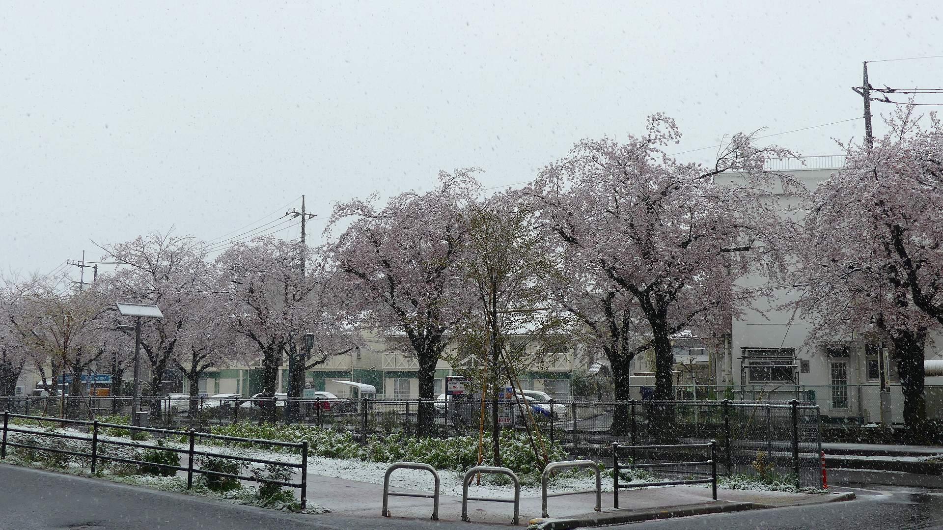 咲いた桜に雪がふる 【 2020 3/29(日)  】_a0185081_11260484.jpg