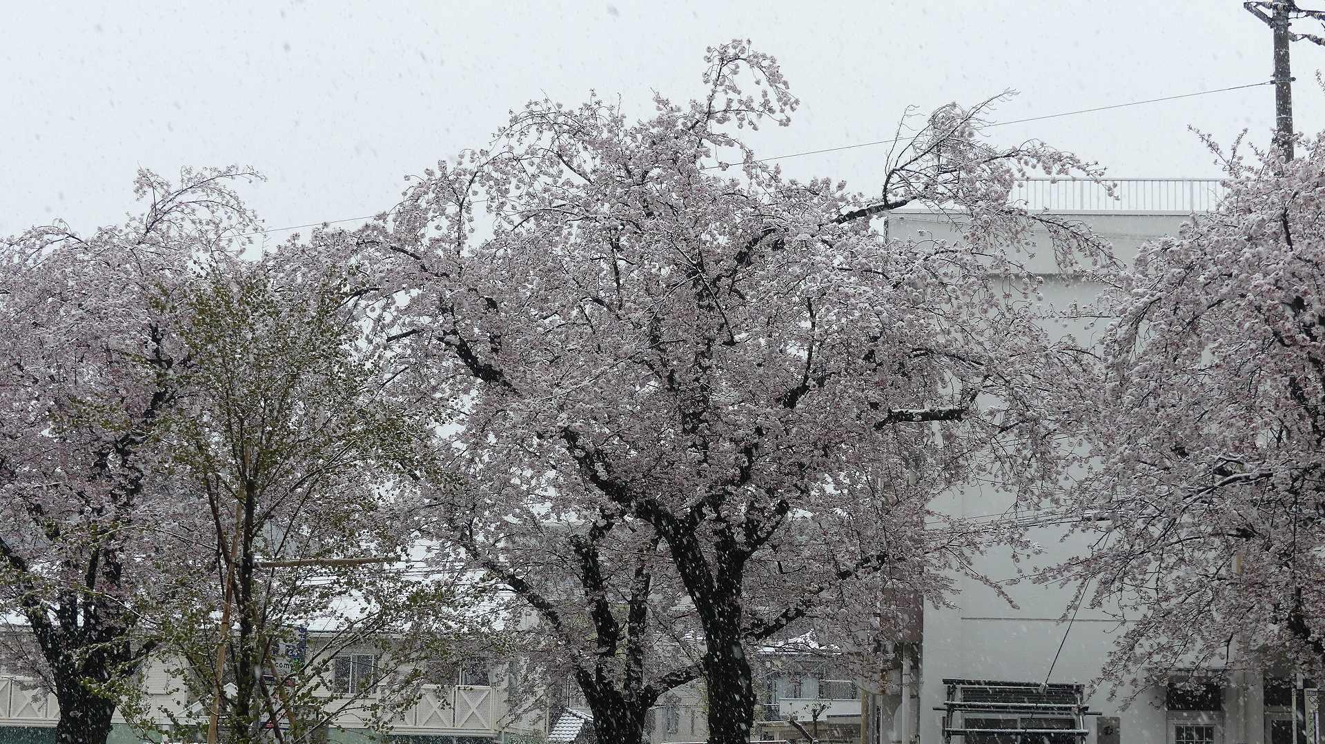 咲いた桜に雪がふる 【 2020 3/29(日)  】_a0185081_11262157.jpg