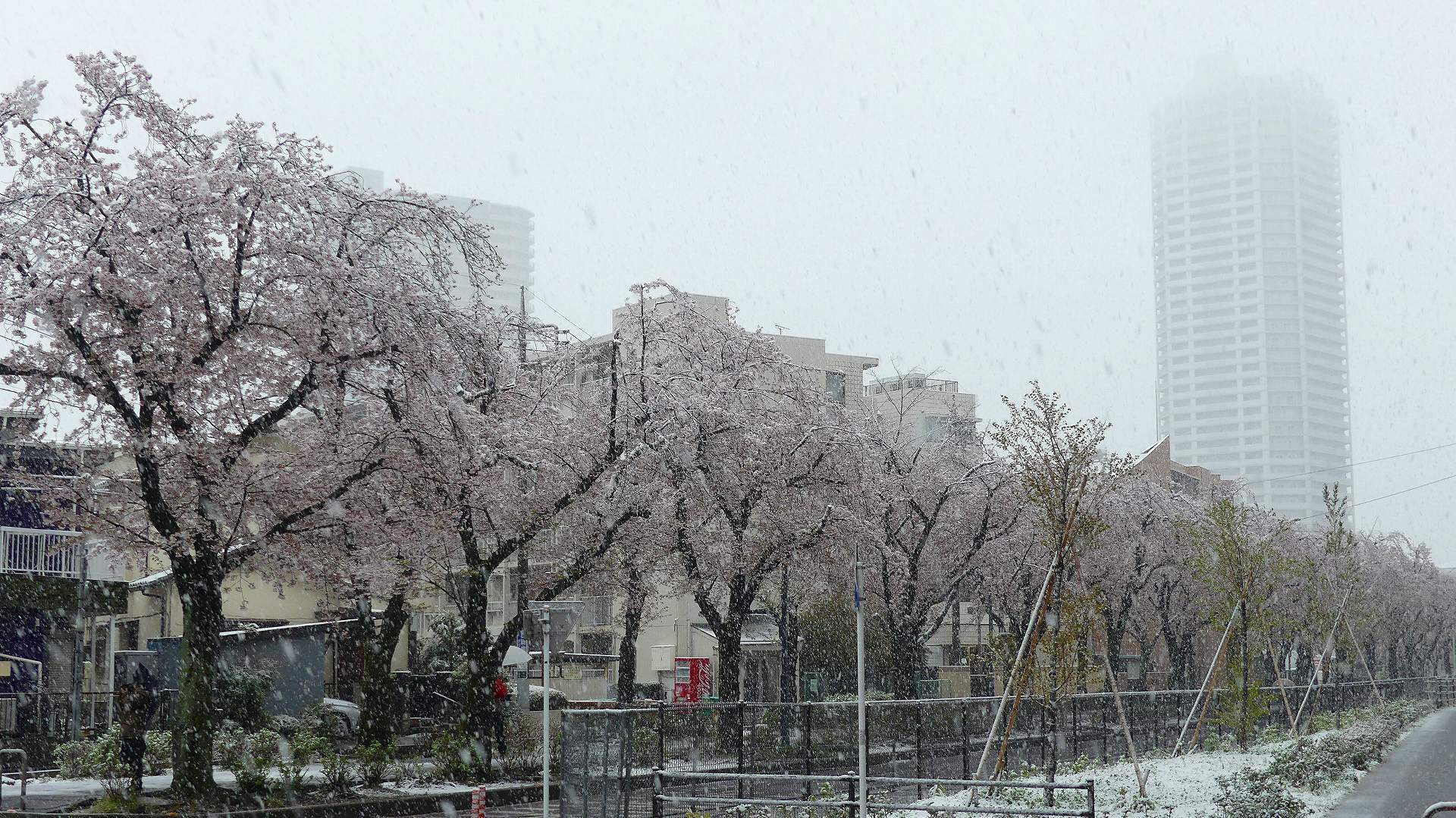 咲いた桜に雪がふる 【 2020 3/29(日)  】_a0185081_11282985.jpg