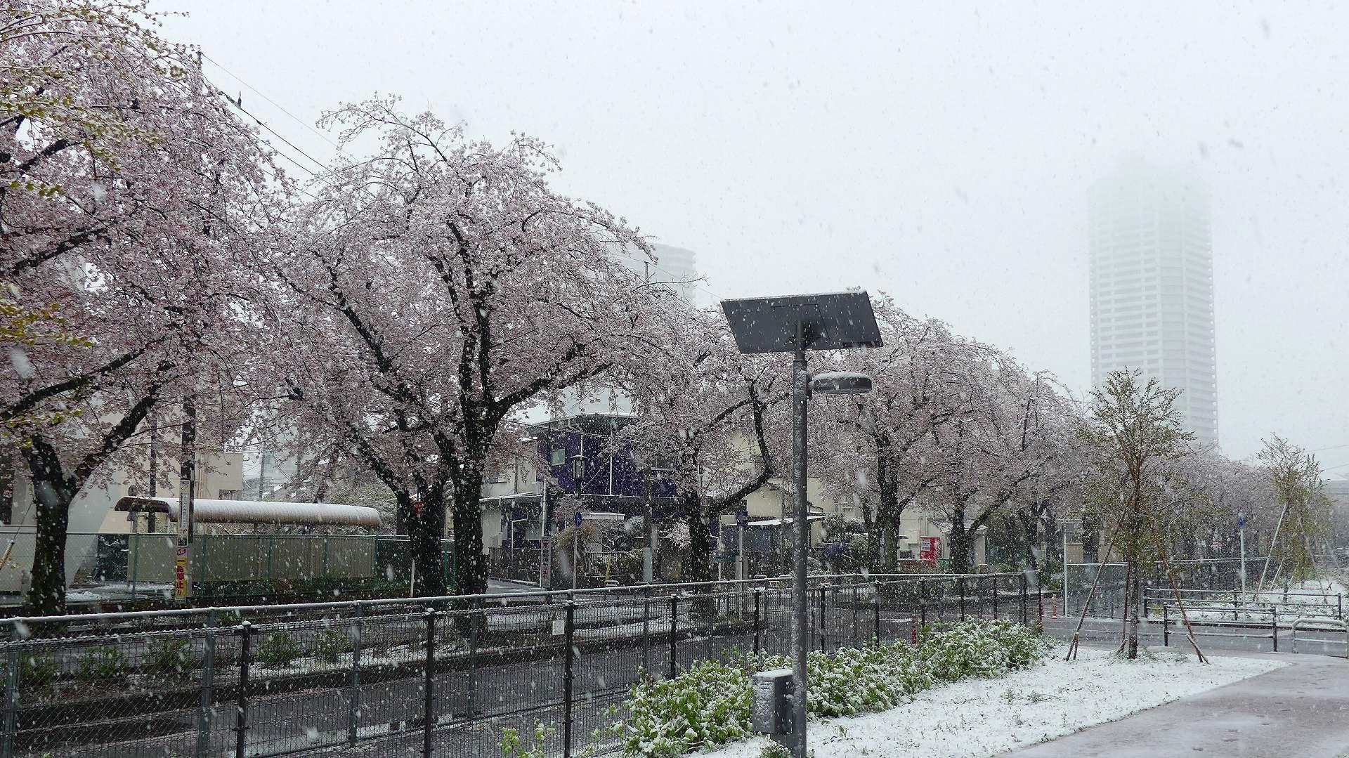 咲いた桜に雪がふる 【 2020 3/29(日)  】_a0185081_11284761.jpg