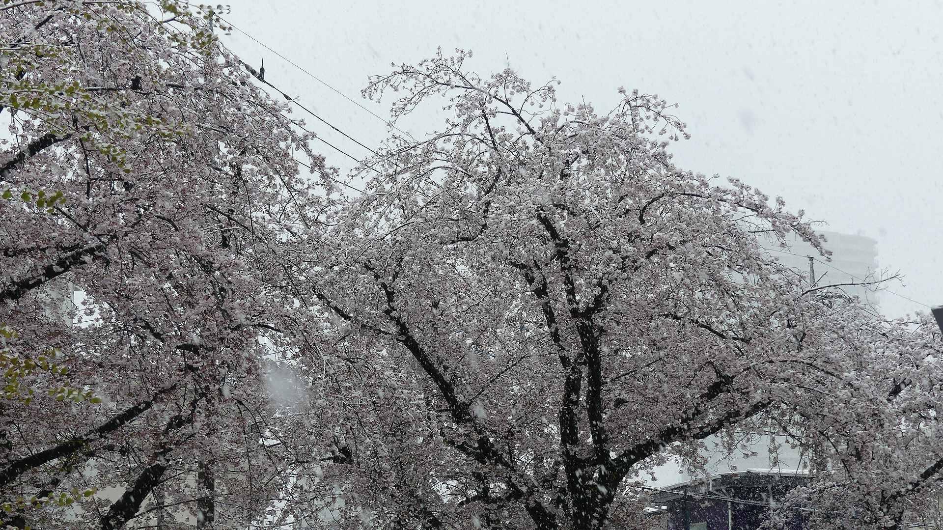 咲いた桜に雪がふる 【 2020 3/29(日)  】_a0185081_11290211.jpg