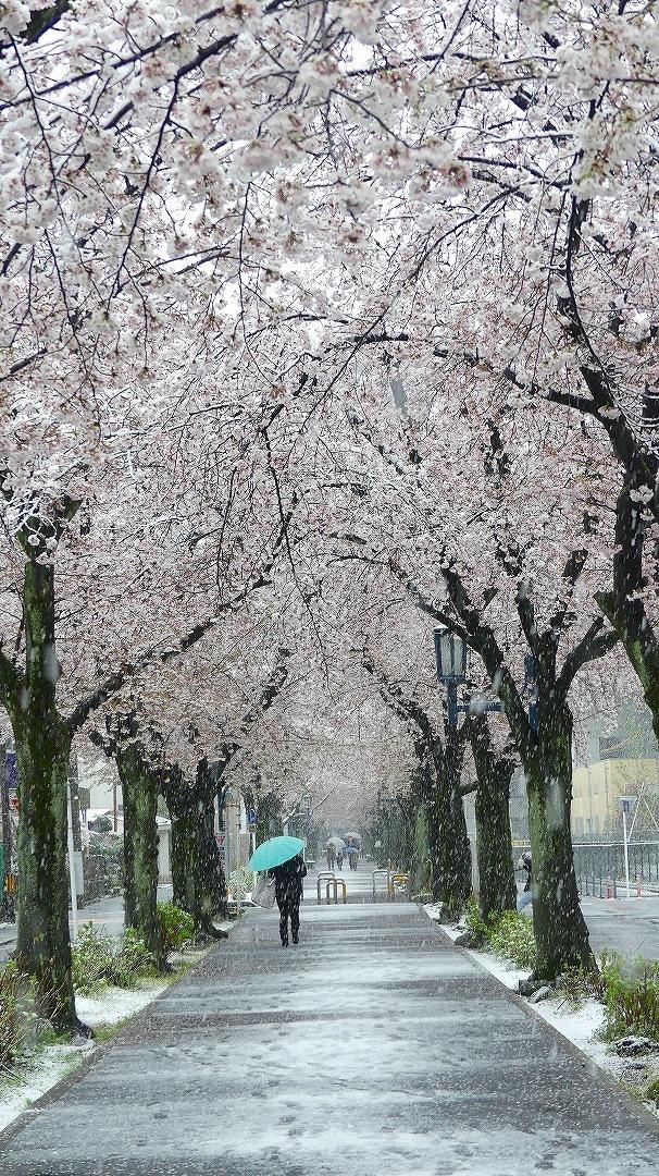 咲いた桜に雪がふる 【 2020 3/29(日)  】_a0185081_11291847.jpg