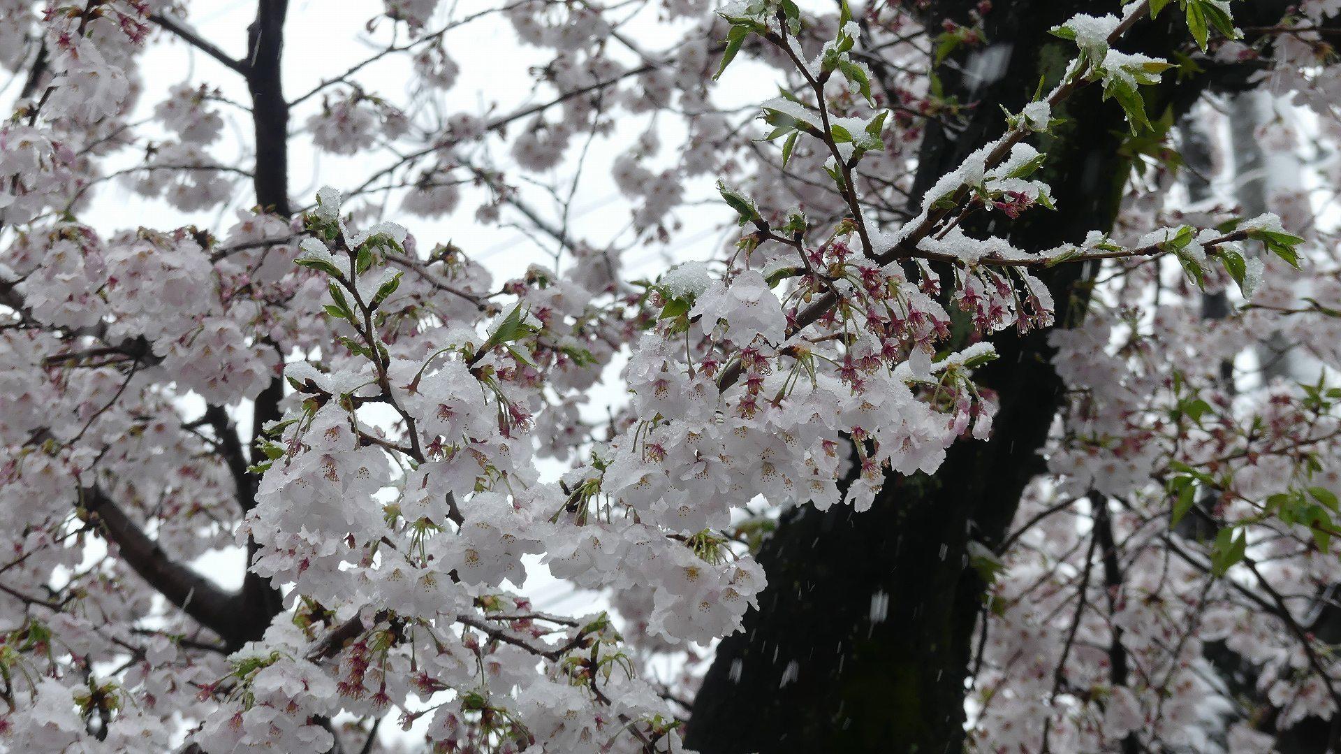 咲いた桜に雪がふる 【 2020 3/29(日)  】_a0185081_11311782.jpg