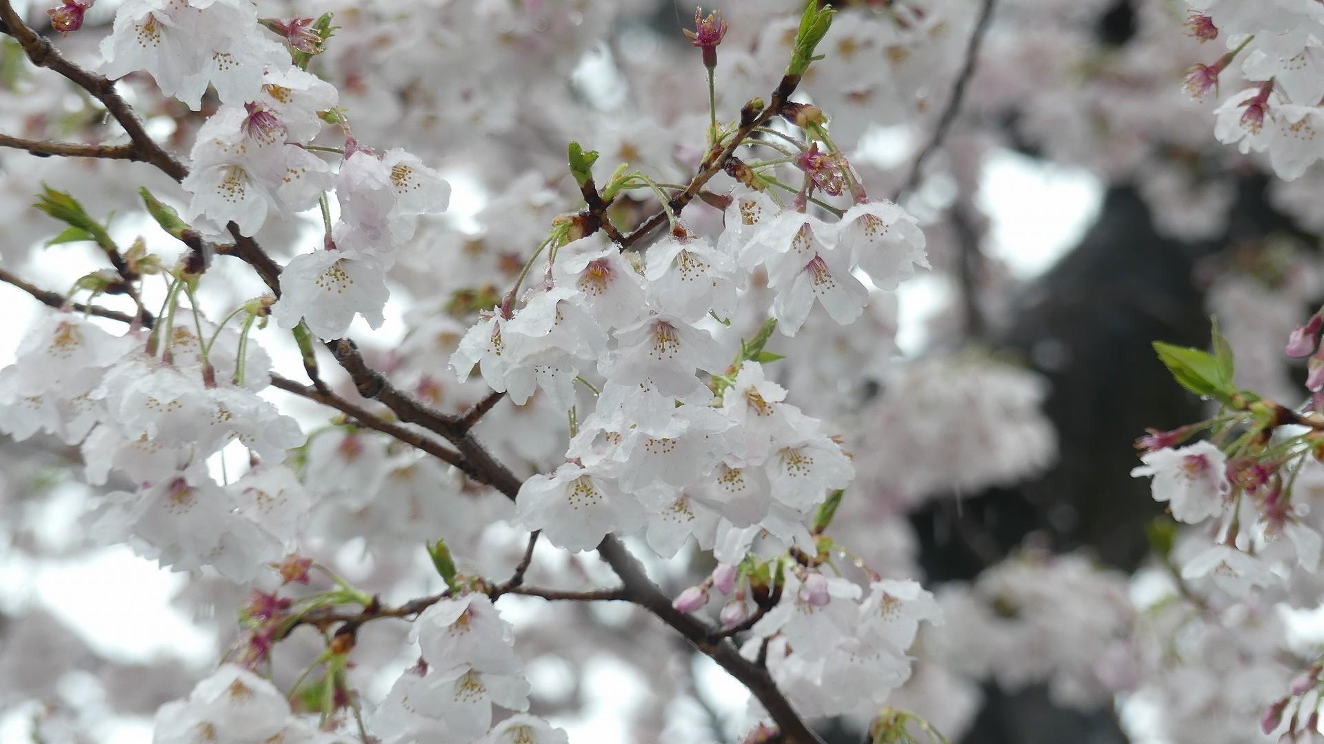 咲いた桜に雪がふる 【 2020 3/29(日)  】_a0185081_11313474.jpg