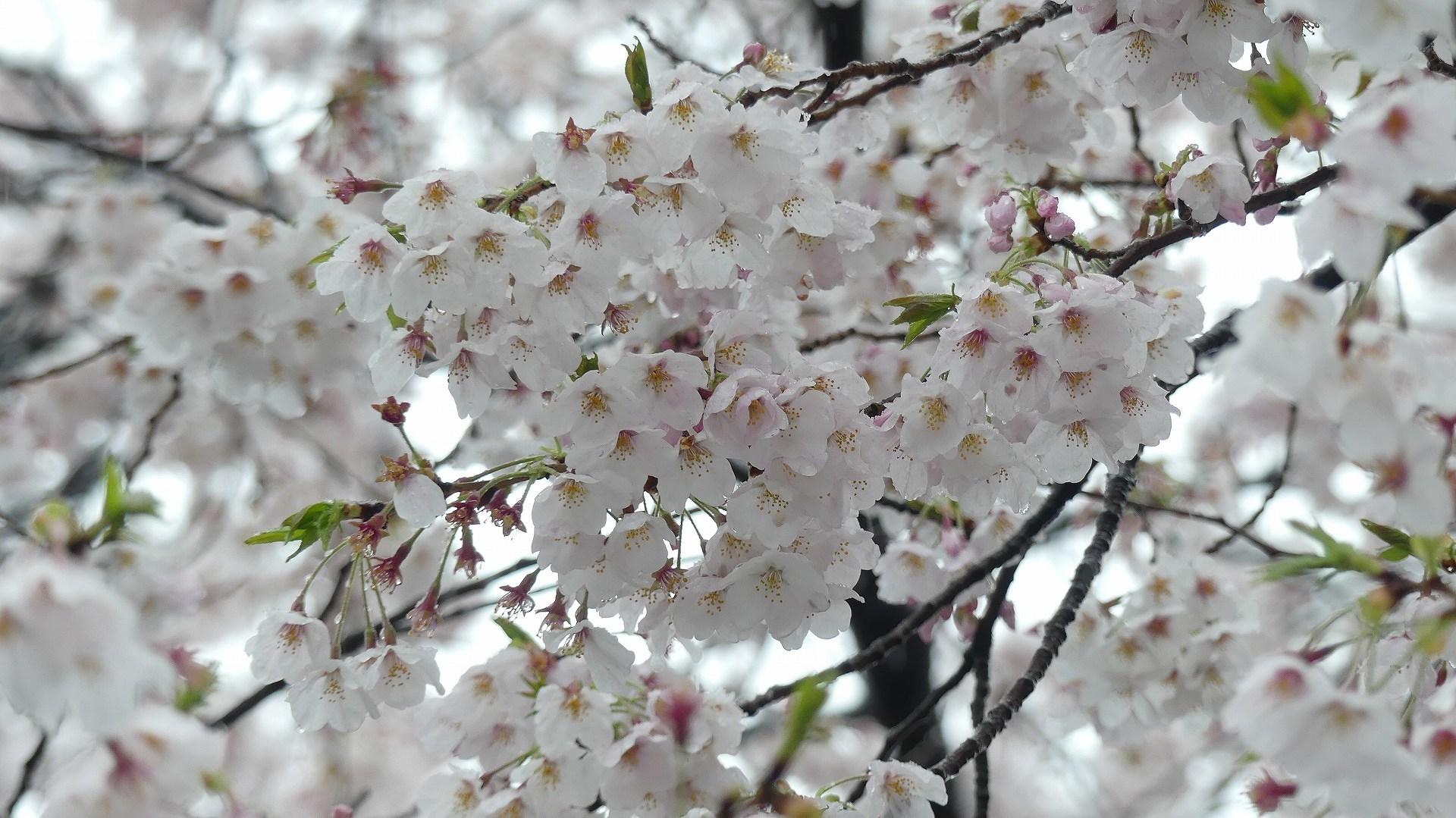 咲いた桜に雪がふる 【 2020 3/29(日)  】_a0185081_11320251.jpg