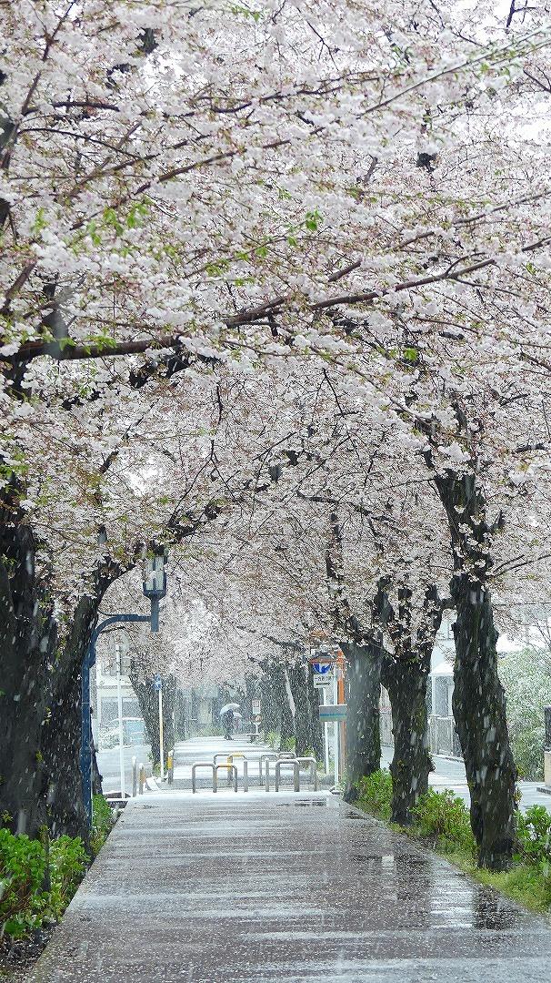 咲いた桜に雪がふる 【 2020 3/29(日)  】_a0185081_11331847.jpg