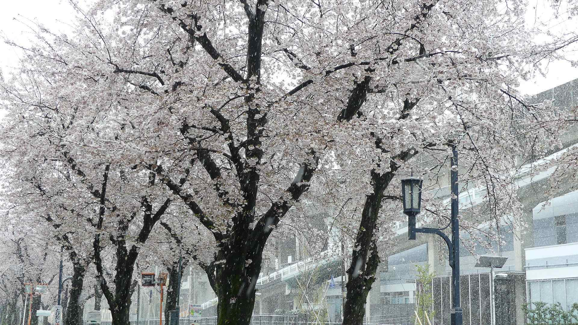 咲いた桜に雪がふる 【 2020 3/29(日)  】_a0185081_11334833.jpg