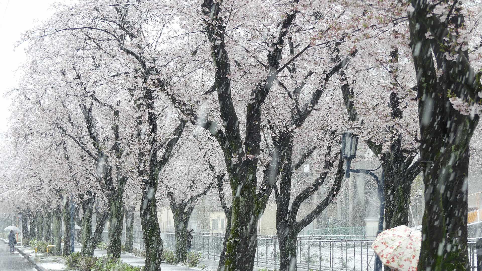 咲いた桜に雪がふる 【 2020 3/29(日)  】_a0185081_11340775.jpg