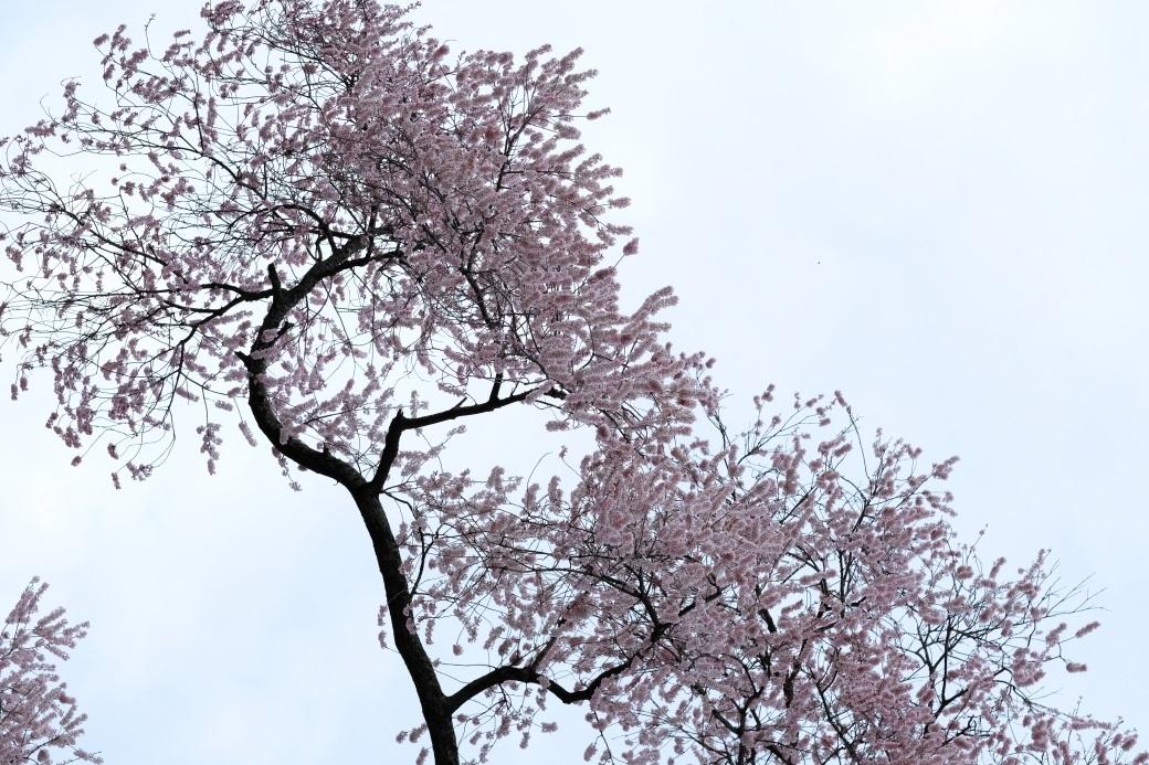 矢祭町「戸津辺の桜」&水郡線 <2> 2020・03・28_e0143883_04463215.jpg