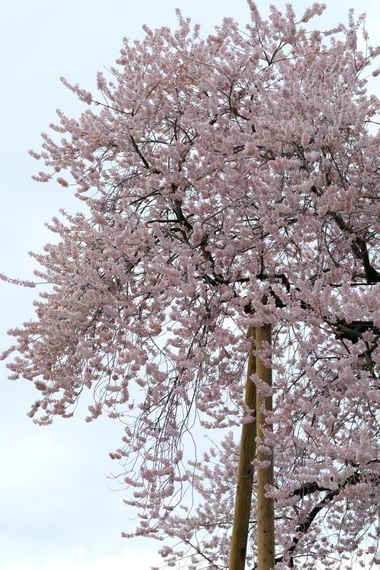 矢祭町「戸津辺の桜」&水郡線 <2> 2020・03・28_e0143883_04470528.jpg