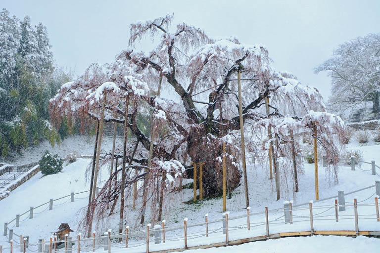 三春「滝桜」~雪村桜 2020・03・29_e0143883_18063345.jpg