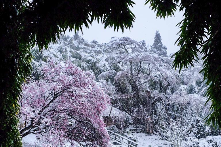 三春「滝桜」~雪村桜 2020・03・29_e0143883_18071686.jpg