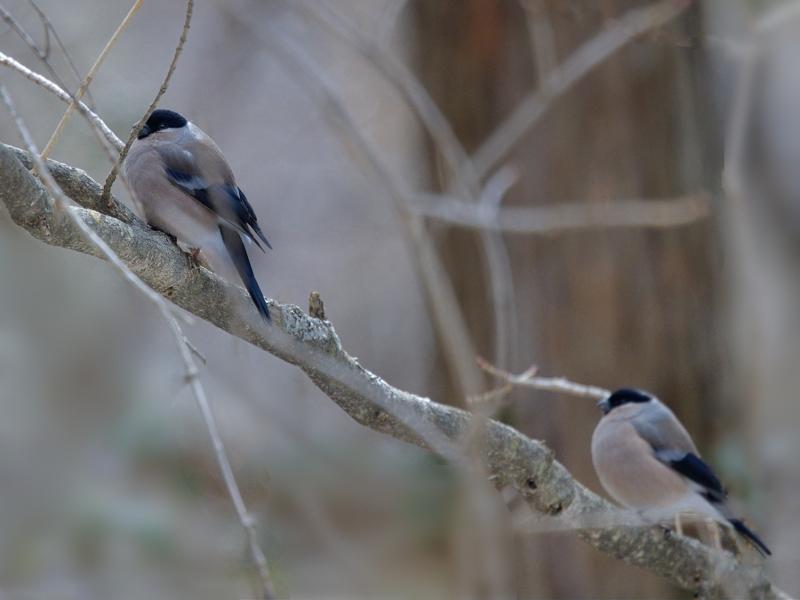 お山のウソ雌たち(お山は昨夜半から春の嵐)_a0204089_6263968.jpg