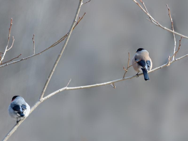 お山のウソ雌たち(お山は昨夜半から春の嵐)_a0204089_627020.jpg