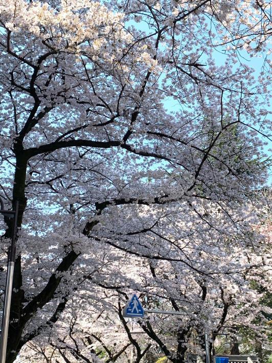 昨日は桜満開、今日は大雪警報☆_a0063997_10073873.jpg