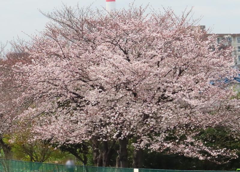 桜と雪_f0033598_11424764.jpg