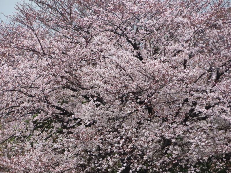 桜と雪_f0033598_11425463.jpg