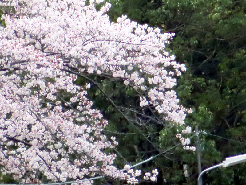 桜と雪_f0033598_11430522.jpg