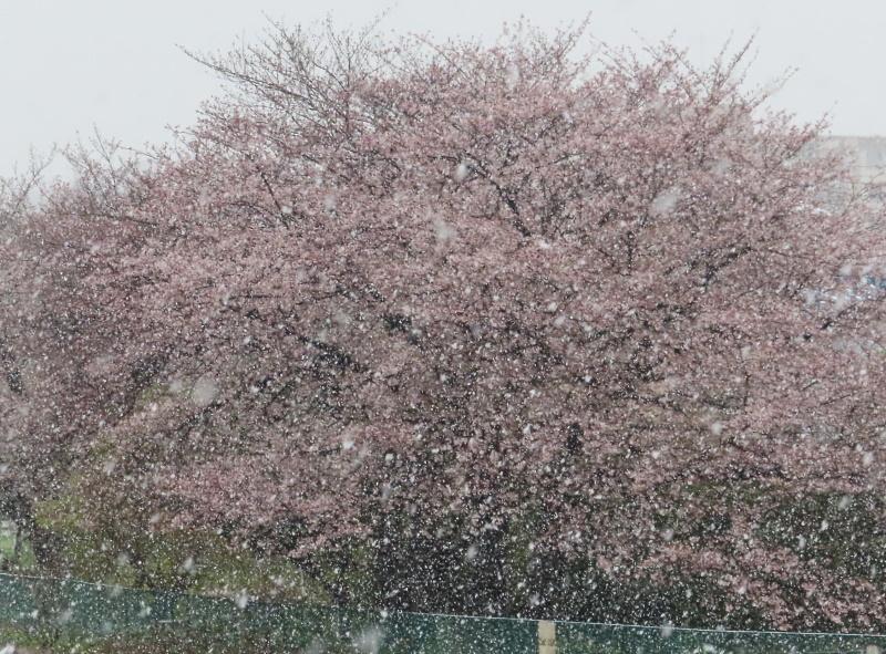 桜と雪_f0033598_11431310.jpg