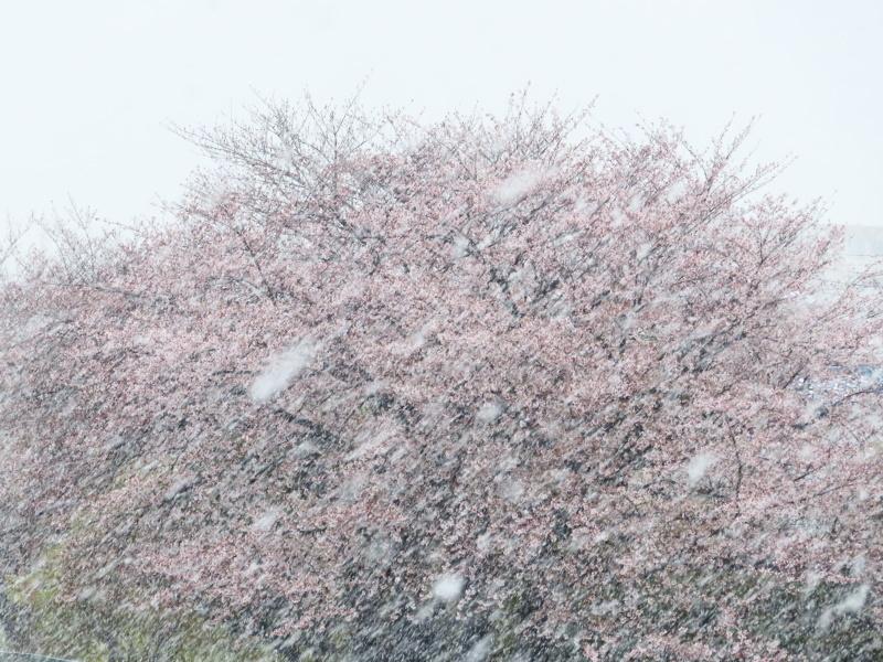 桜と雪_f0033598_11432923.jpg