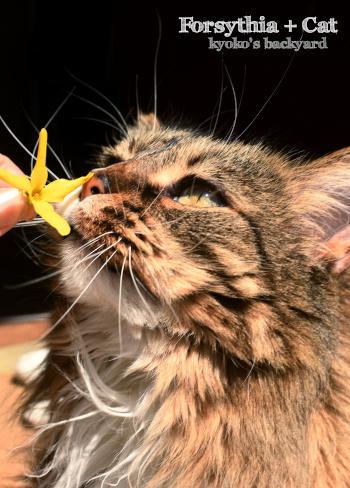レンギョウの花に、ため息をつく猫_b0253205_10490450.jpg
