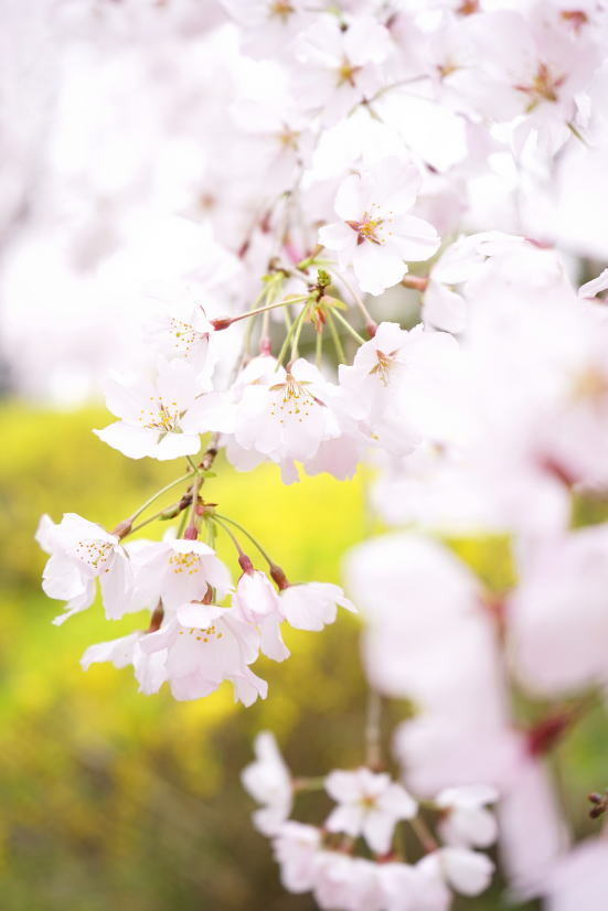 花見 ゆうかの里へ_a0136507_21105996.jpg