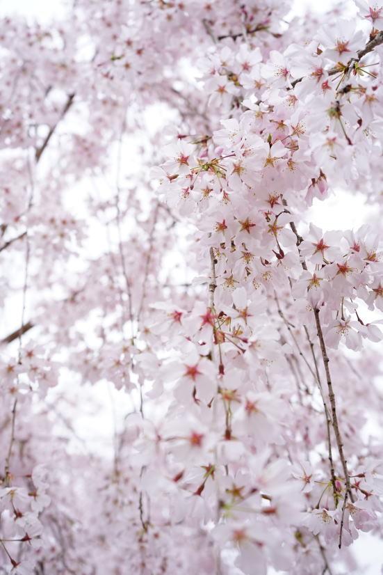 花見 ゆうかの里へ_a0136507_21132659.jpg