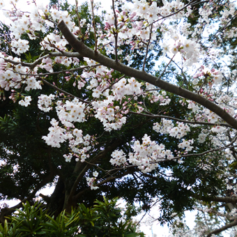 円覚寺の桜_c0195909_14133456.jpg
