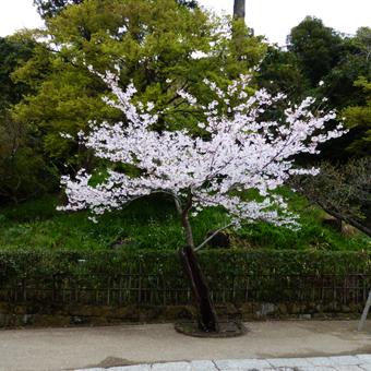 円覚寺の桜_c0195909_14145858.jpg