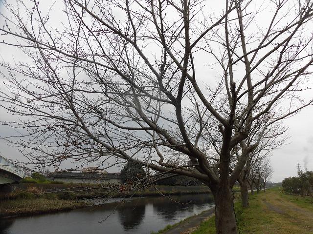 今年の富士市の満開は今週末? ラジオfの「グリーン&ブラウン」に出演_f0141310_07585898.jpg