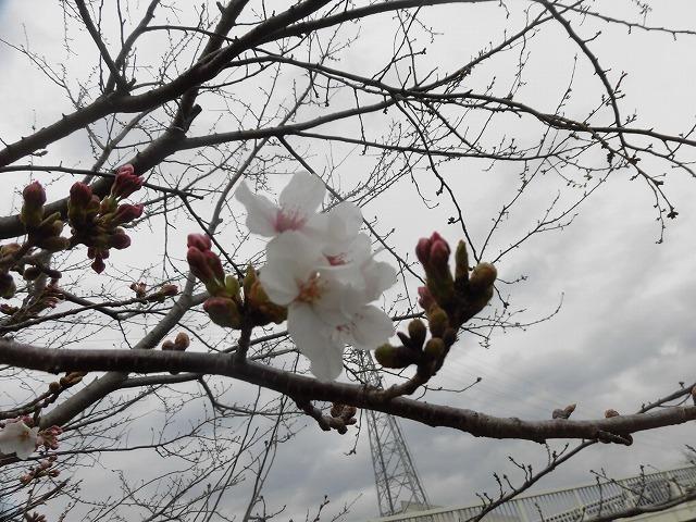 今年の富士市の満開は今週末? ラジオfの「グリーン&ブラウン」に出演_f0141310_07590682.jpg