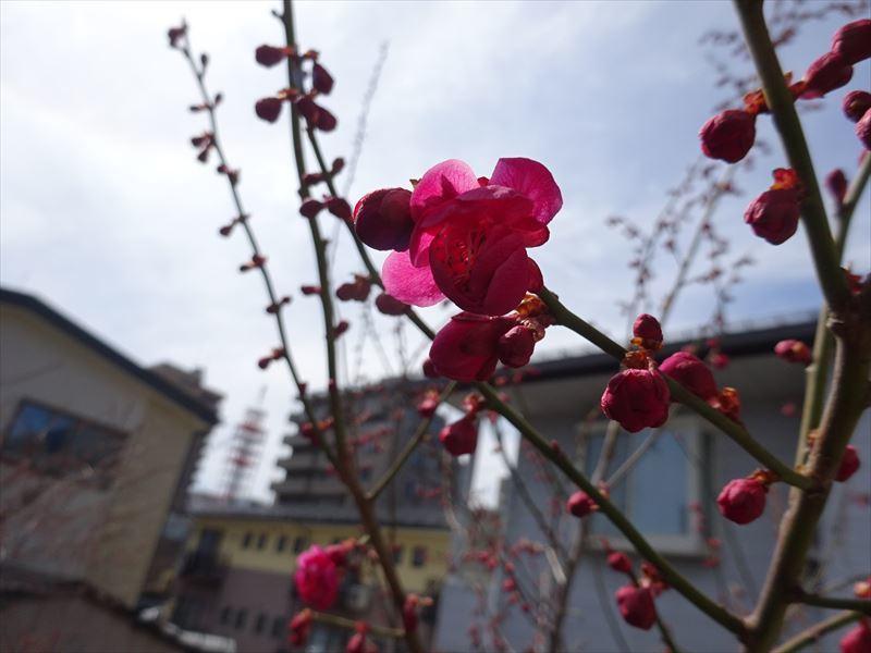 梅の花 開花しました!_f0105112_17480232.jpg