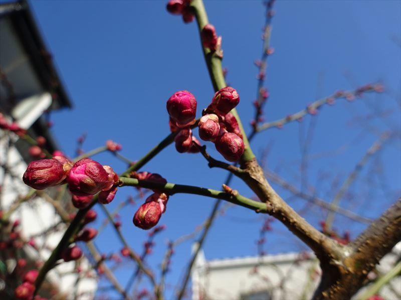 梅の花 開花しました!_f0105112_17480259.jpg