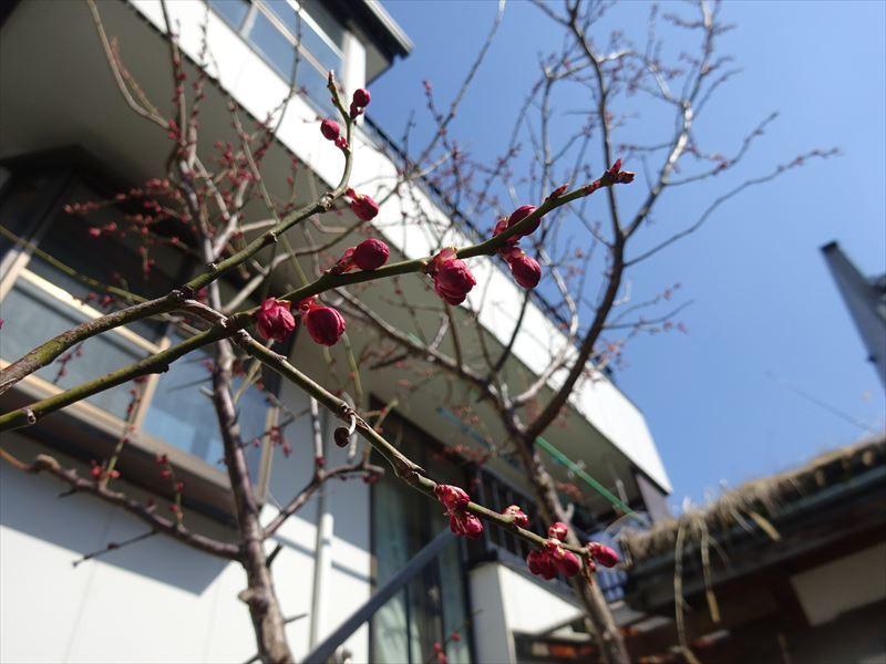 梅の花 開花しました!_f0105112_17480264.jpg
