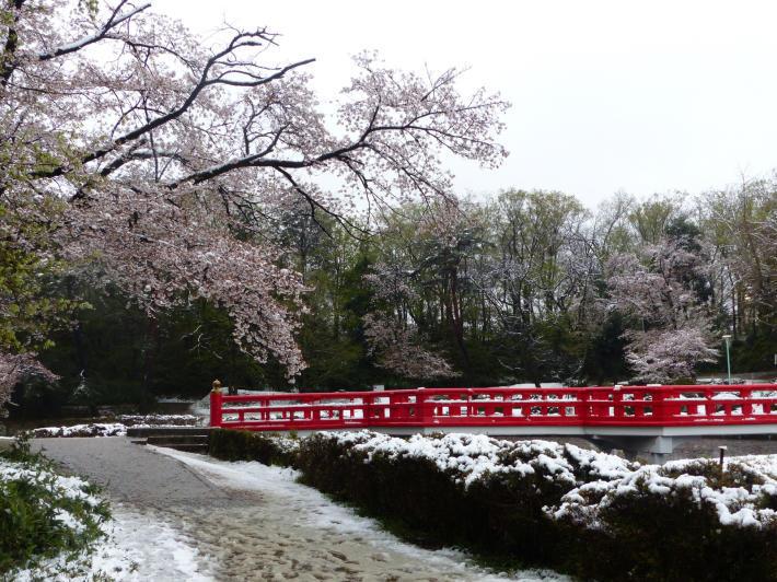 桜と雪の岩槻城址公園_f0296312_00391989.jpg