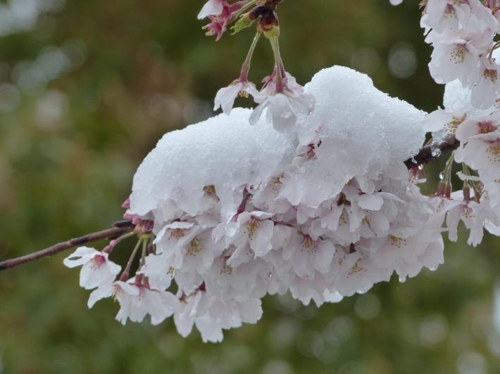 桜と雪の岩槻城址公園_f0296312_00433488.jpg